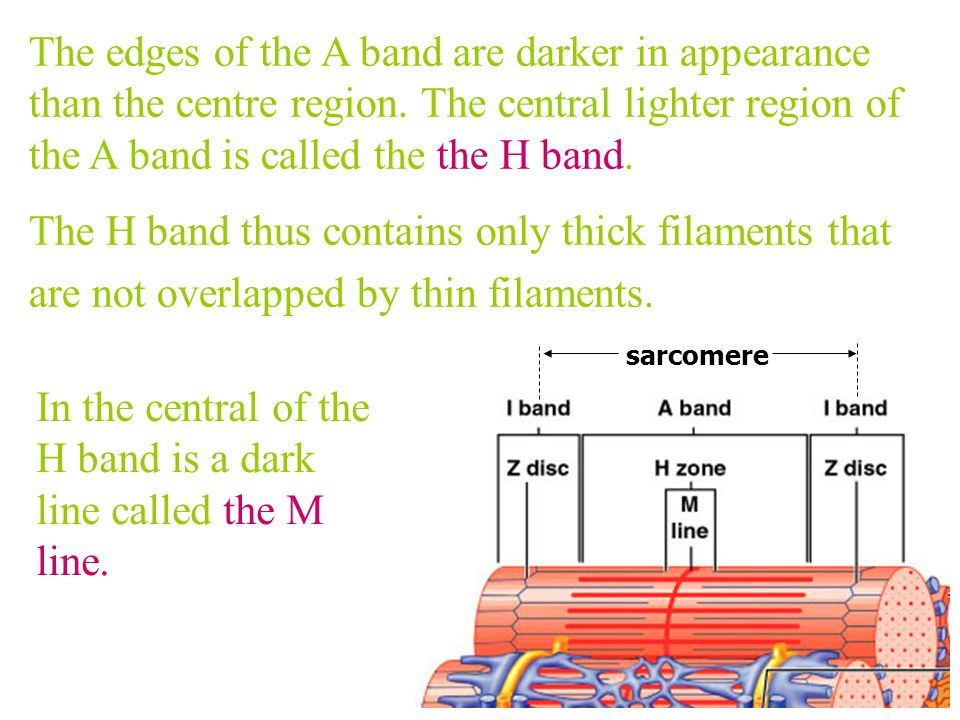 In the central of the H band is a dark line called the M line.