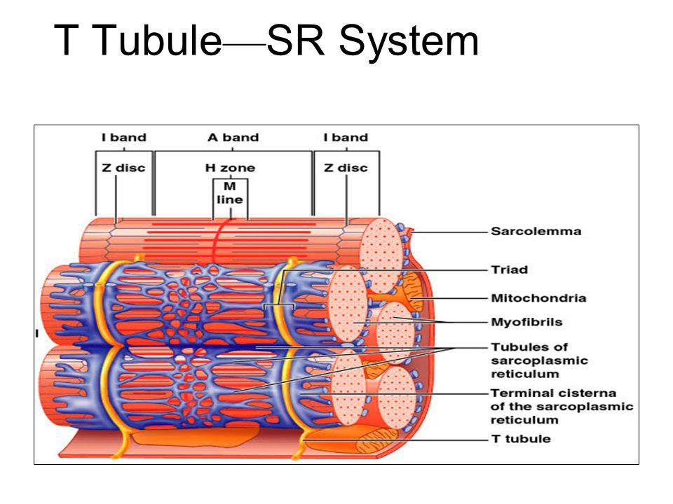 T Tubule—SR System