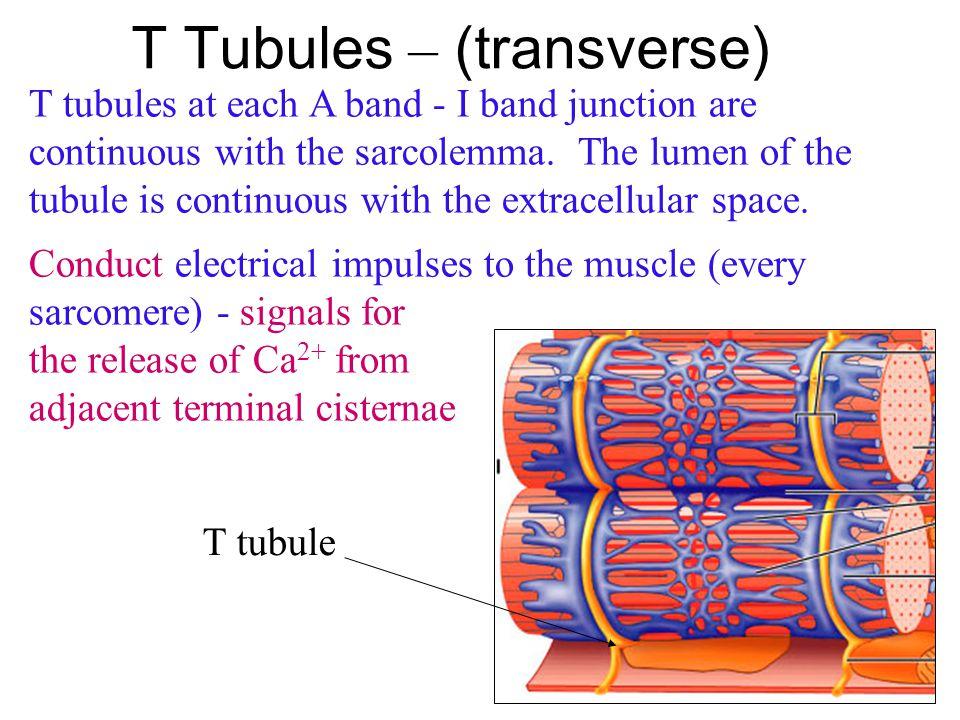 T Tubules – (transverse)