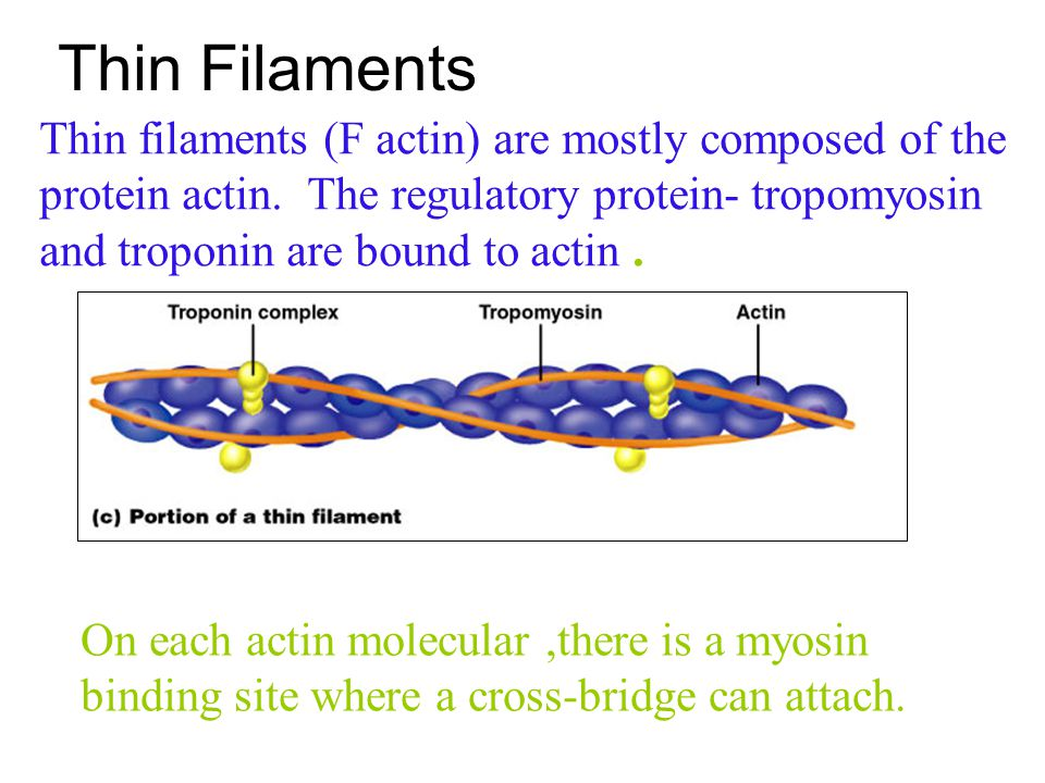 Thin Filaments