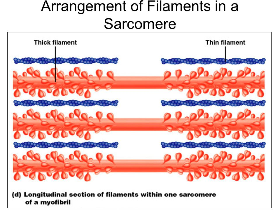Arrangement of Filaments in a Sarcomere