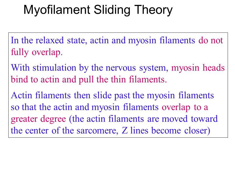 Myofilament Sliding Theory
