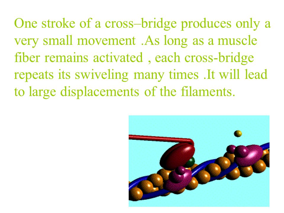 One stroke of a cross–bridge produces only a very small movement