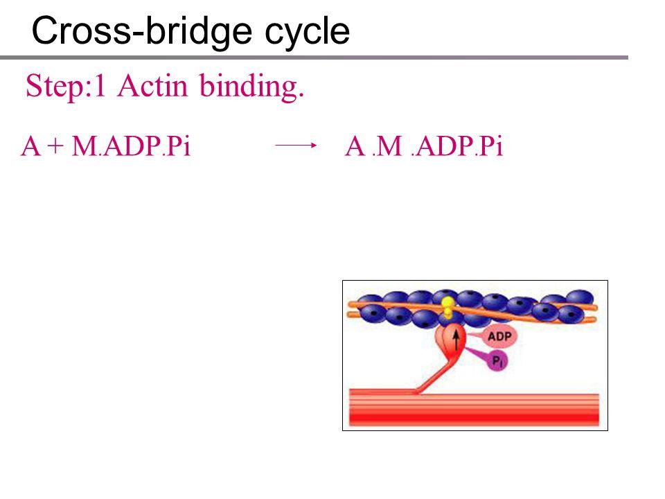 Cross-bridge cycle Step:1 Actin binding. A + M﹒ADP﹒Pi A ﹒M ﹒ADP﹒Pi