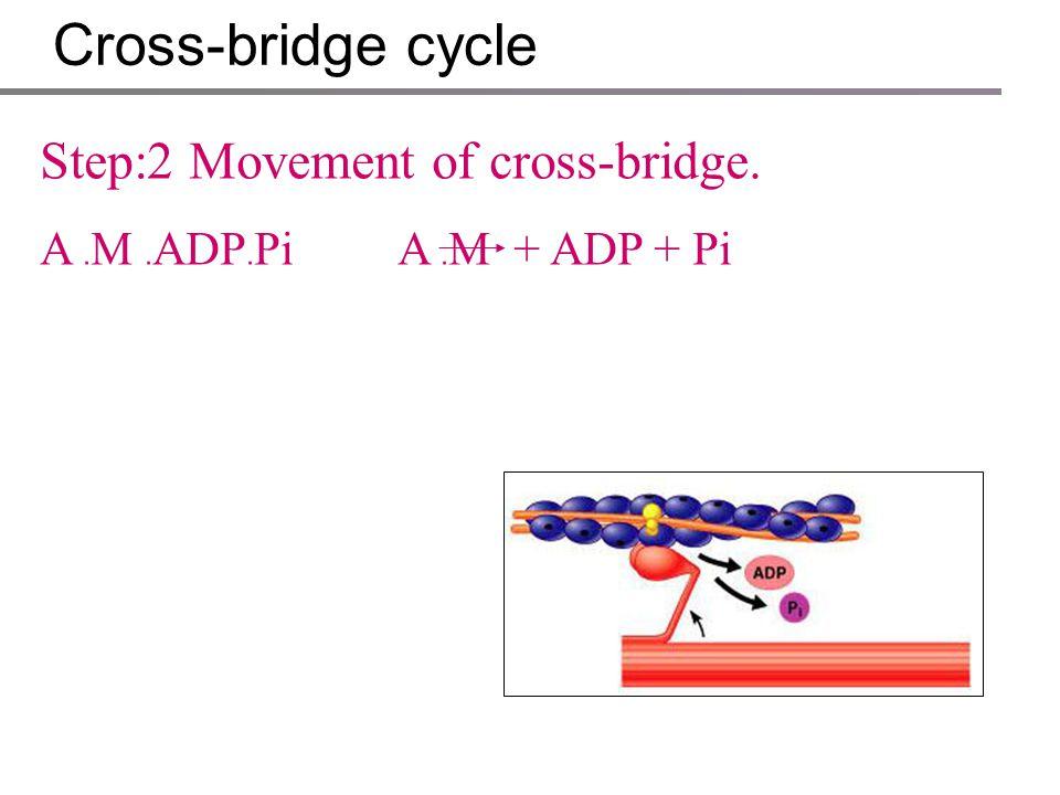 Cross-bridge cycle Step:2 Movement of cross-bridge.