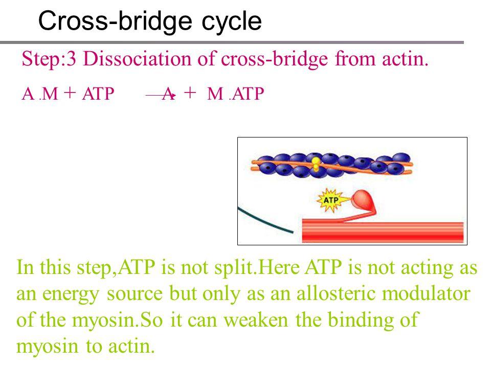 Cross-bridge cycle Step:3 Dissociation of cross-bridge from actin.