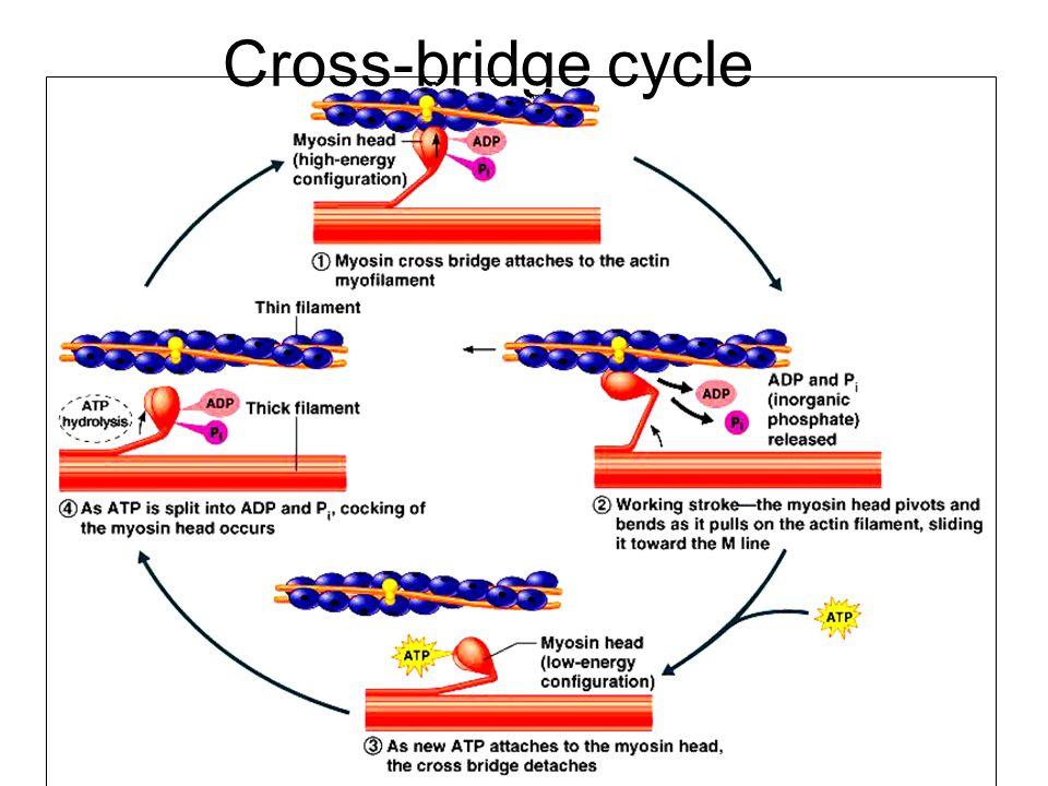 Cross-bridge cycle