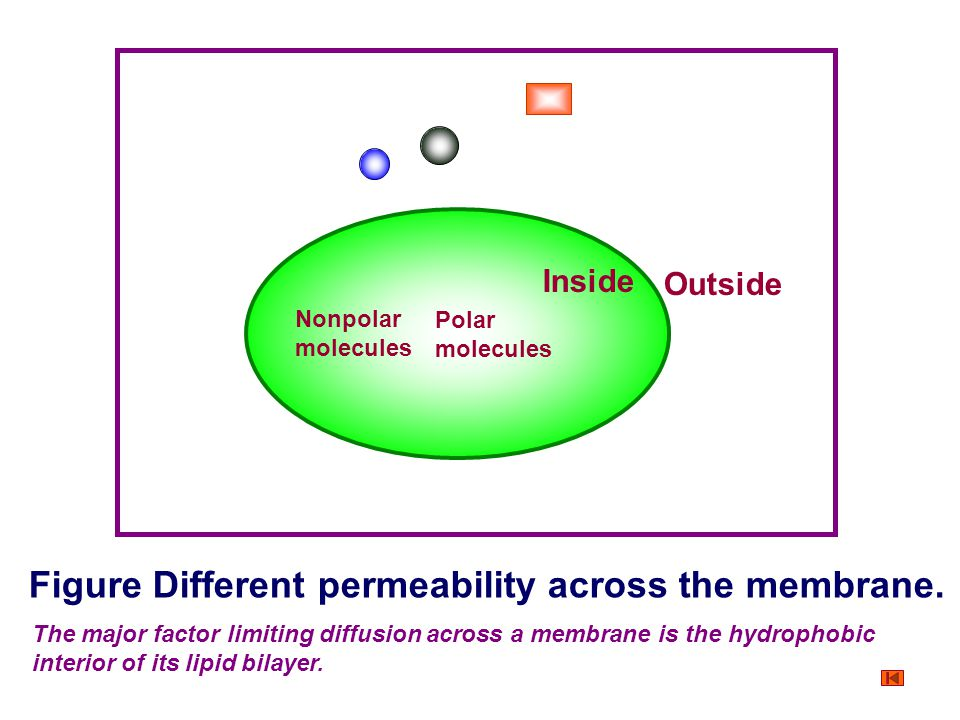 Figure Different permeability across the membrane.
