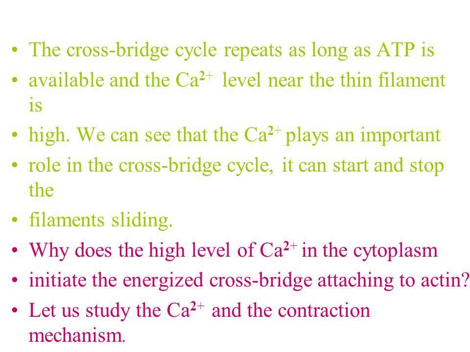 The cross-bridge cycle repeats as long as ATP is