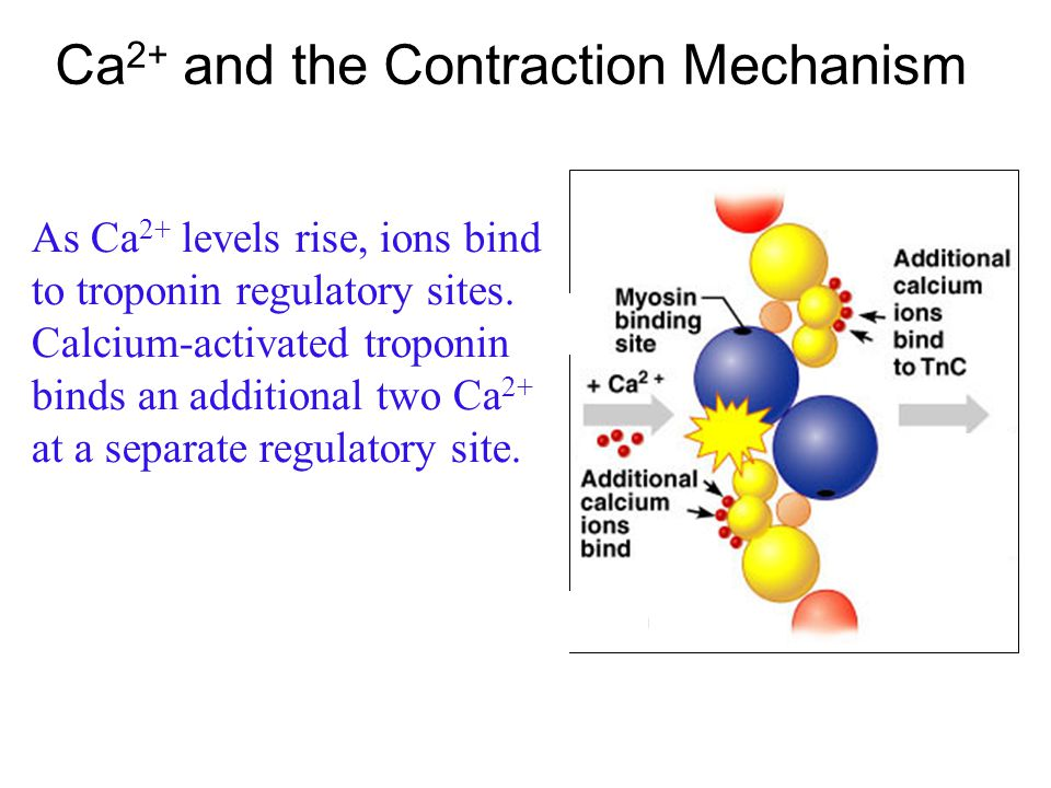 Ca2+ and the Contraction Mechanism