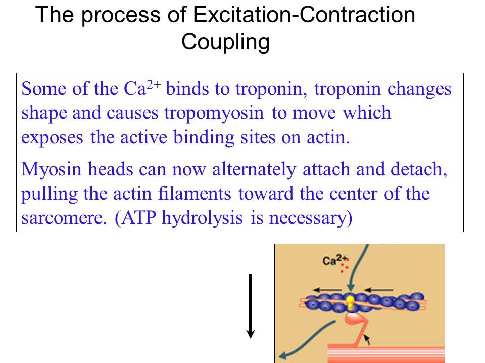 The process of Excitation-Contraction Coupling