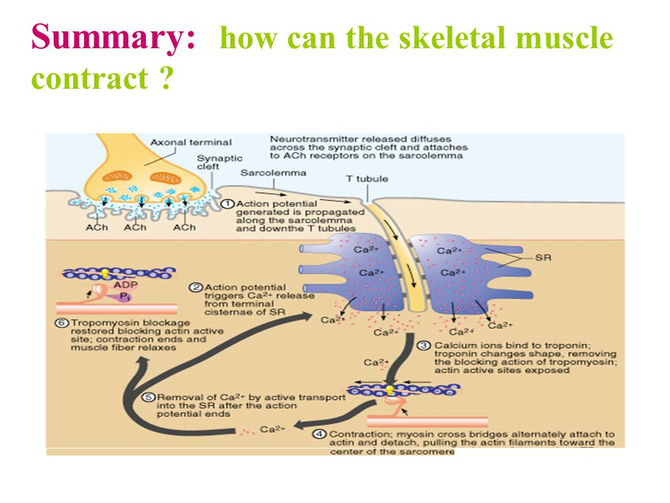 Summary: how can the skeletal muscle contract