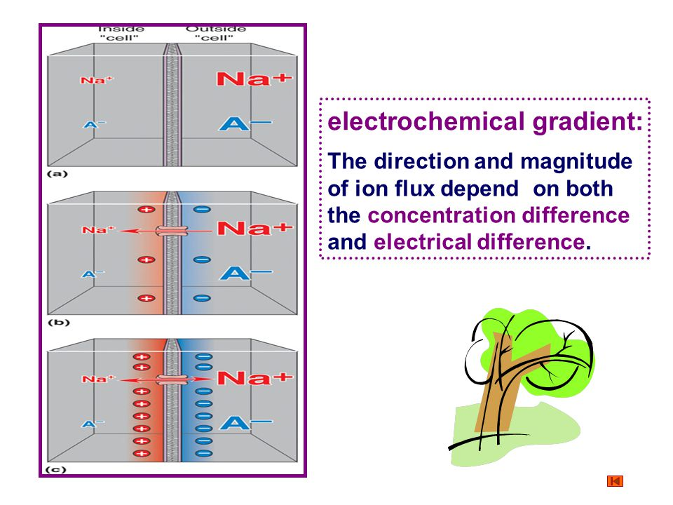 electrochemical gradient: