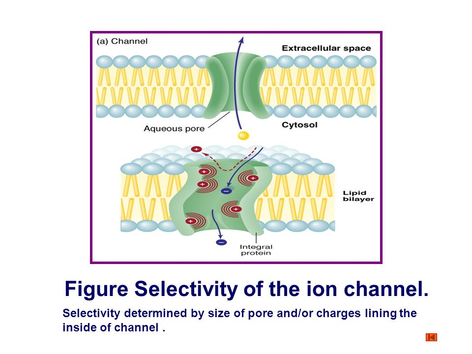 Figure Selectivity of the ion channel.