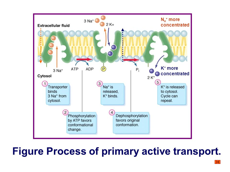 Figure Process of primary active transport.