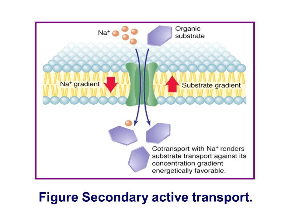 Figure Secondary active transport.