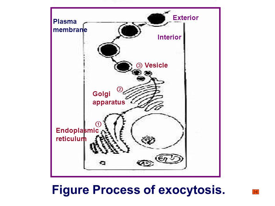 Figure Process of exocytosis.