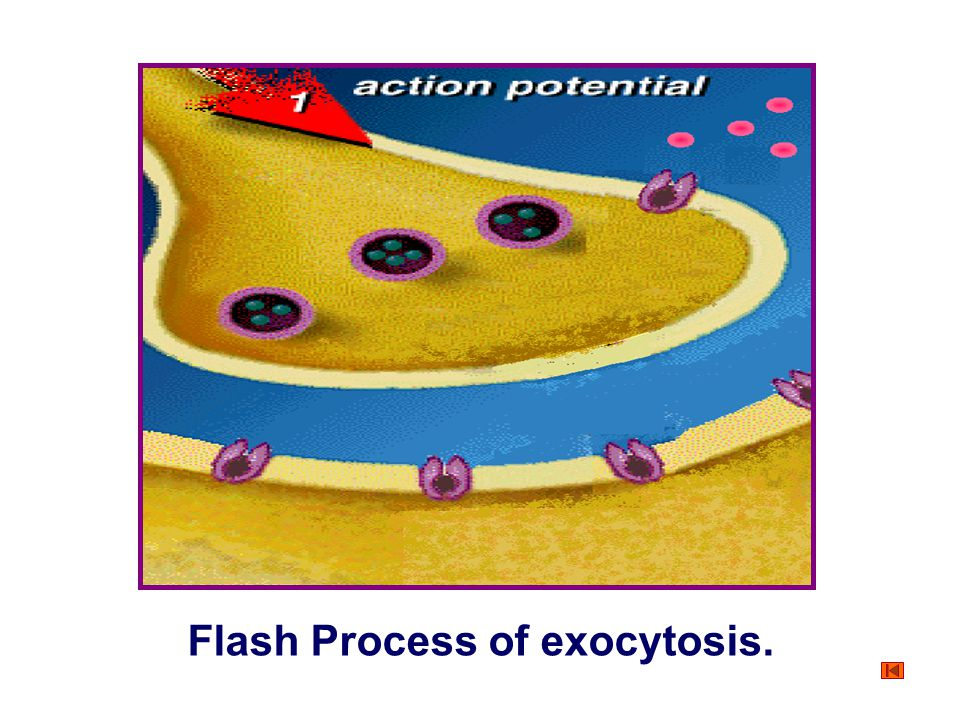 Flash Process of exocytosis.