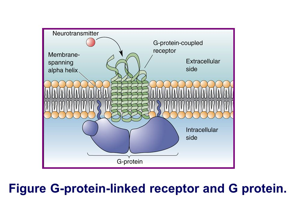 Figure G-protein-linked receptor and G protein.