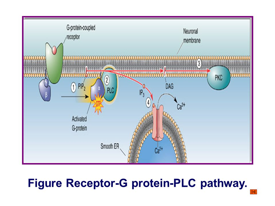 Figure Receptor-G protein-PLC pathway.