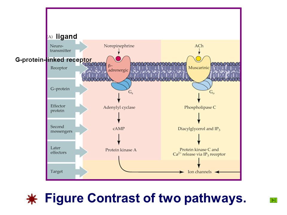Figure Contrast of two pathways.