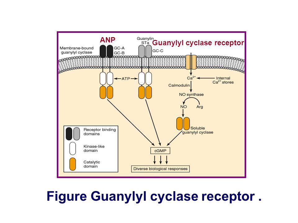 Figure Guanylyl cyclase receptor .