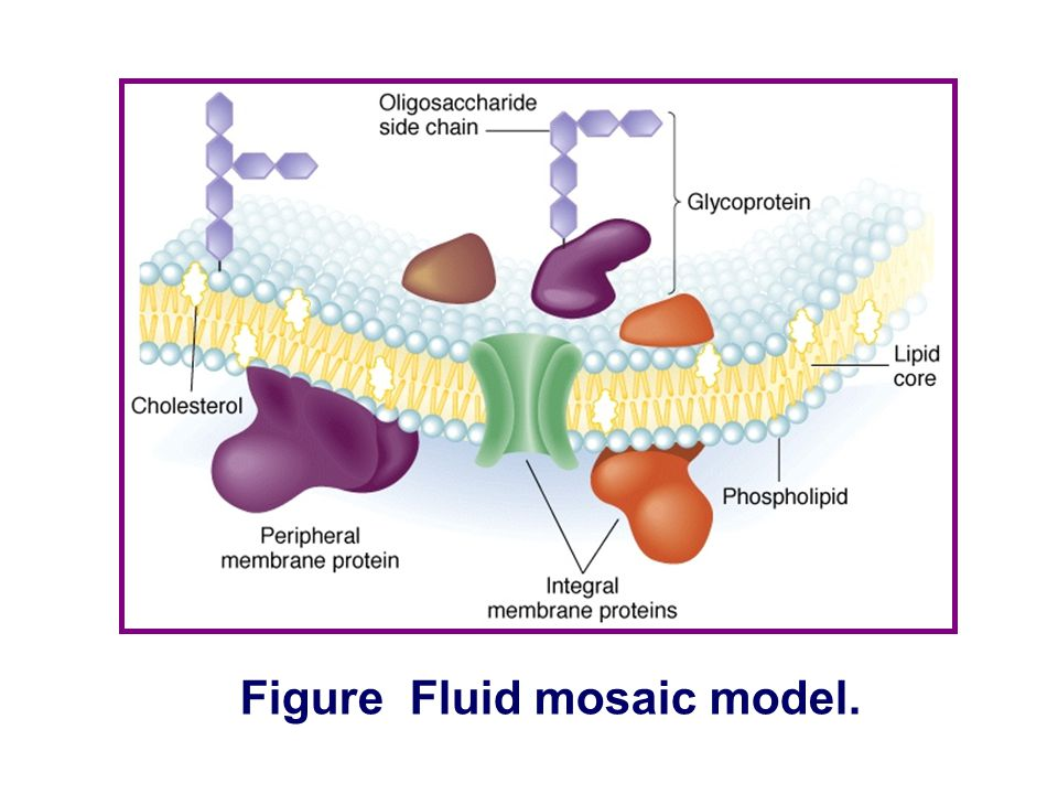 Figure Fluid mosaic model.