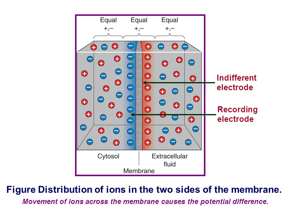 Figure Distribution of ions in the two sides of the membrane.