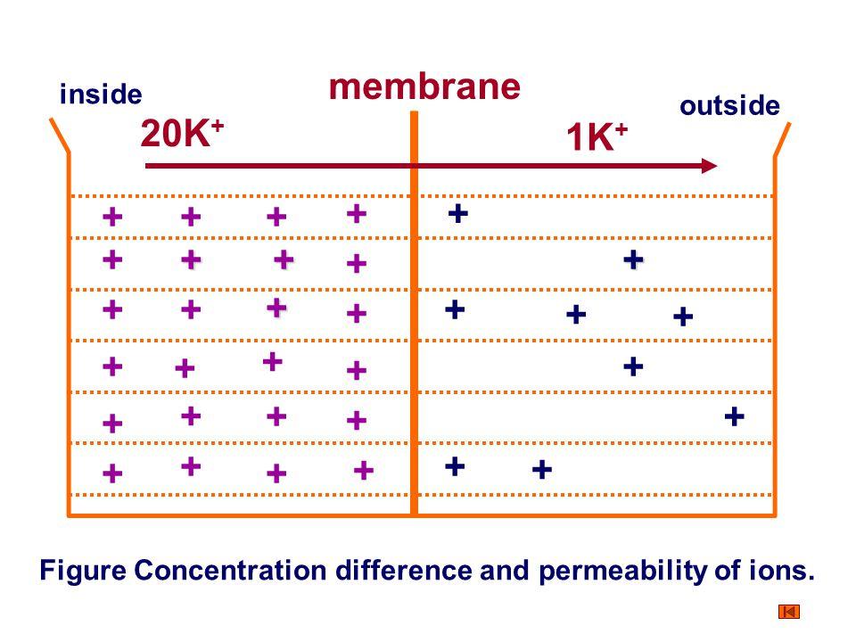 membrane 20K+ 1K+ + + + + + + + + + + + + + + + + + + + + + + + + + +