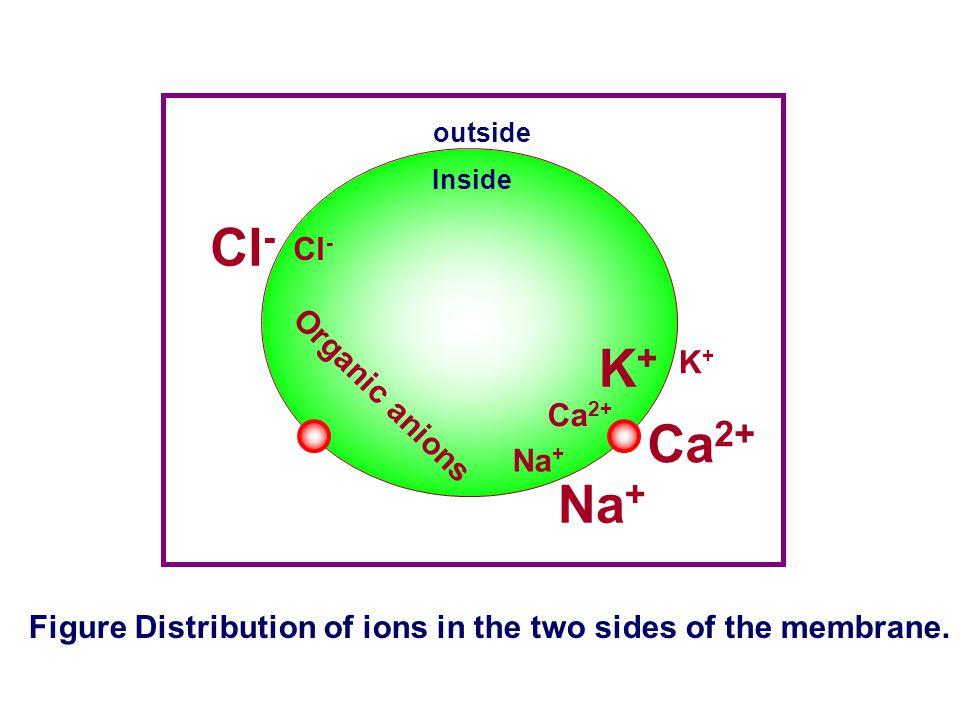 Cl- K+ Ca2+ Na+ Cl- K+ Organic anions Ca2+ Na+