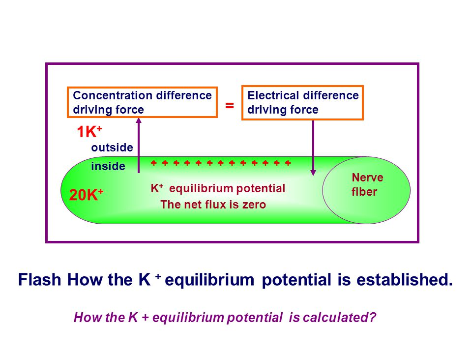 Flash How the K + equilibrium potential is established.