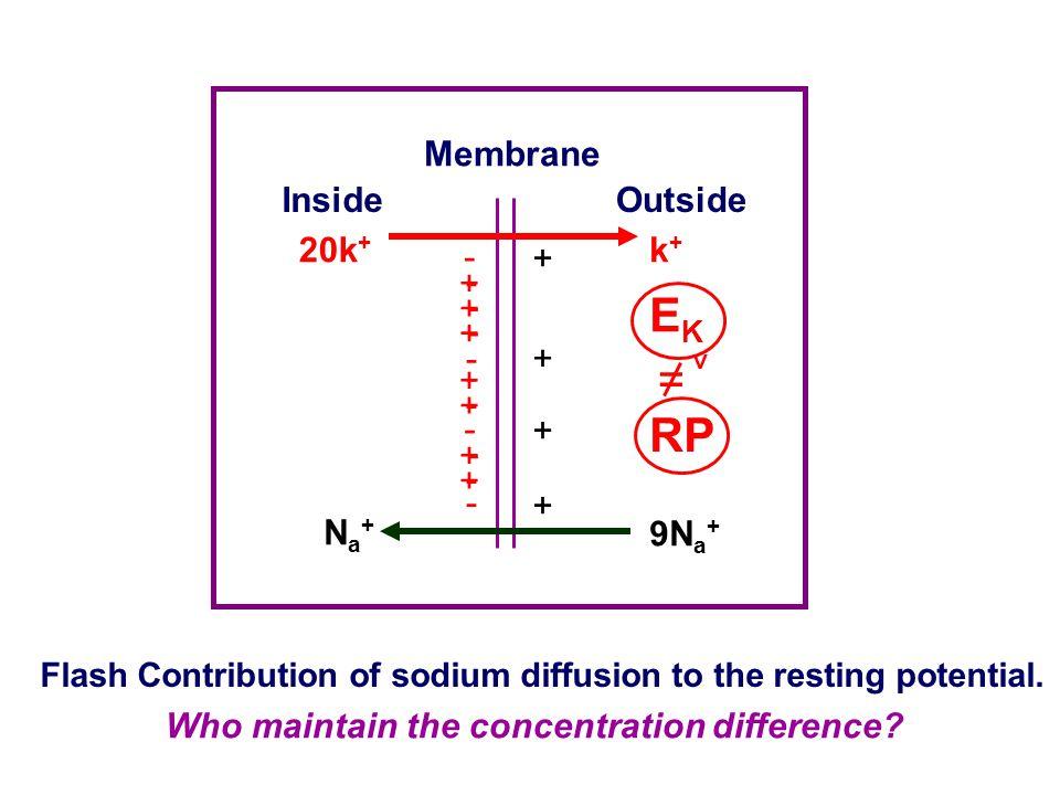 EK = ﹥ RP Membrane Inside Outside 20k+ k+ + - + - - + - + - + Na+ 9Na+