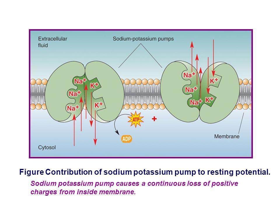 + Figure Contribution of sodium potassium pump to resting potential.