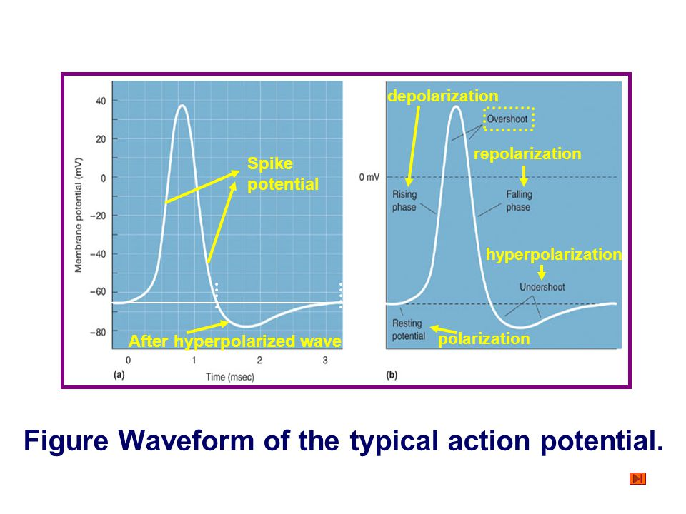 Figure Waveform of the typical action potential.