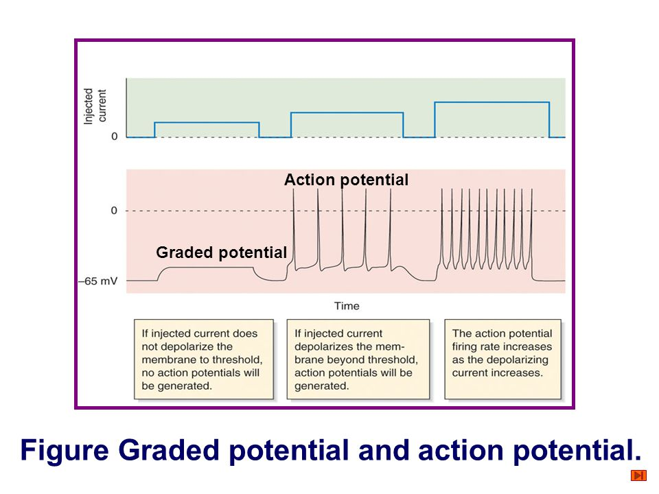 Figure Graded potential and action potential.