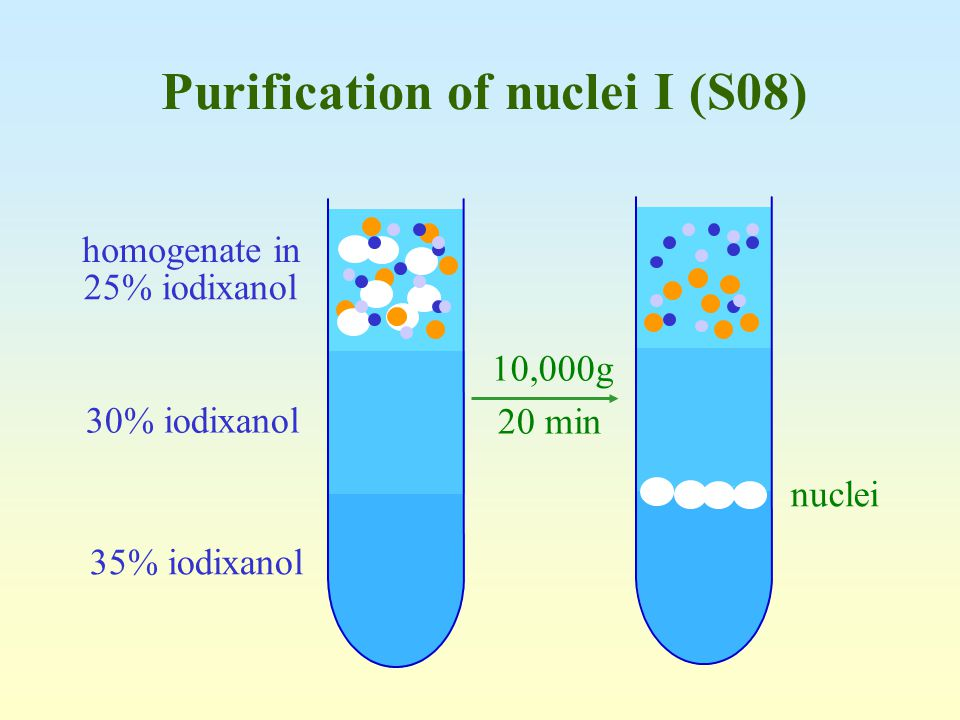 Purification of nuclei I (S08)