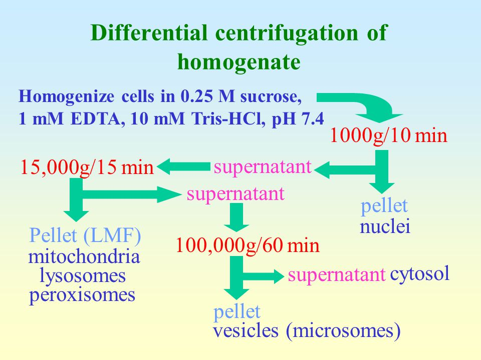 Differential centrifugation of homogenate