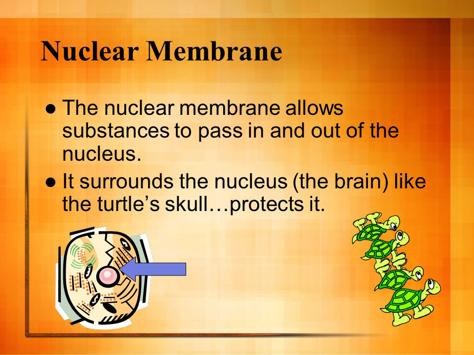 Nuclear Membrane The nuclear membrane allows substances to pass in and out of the nucleus.