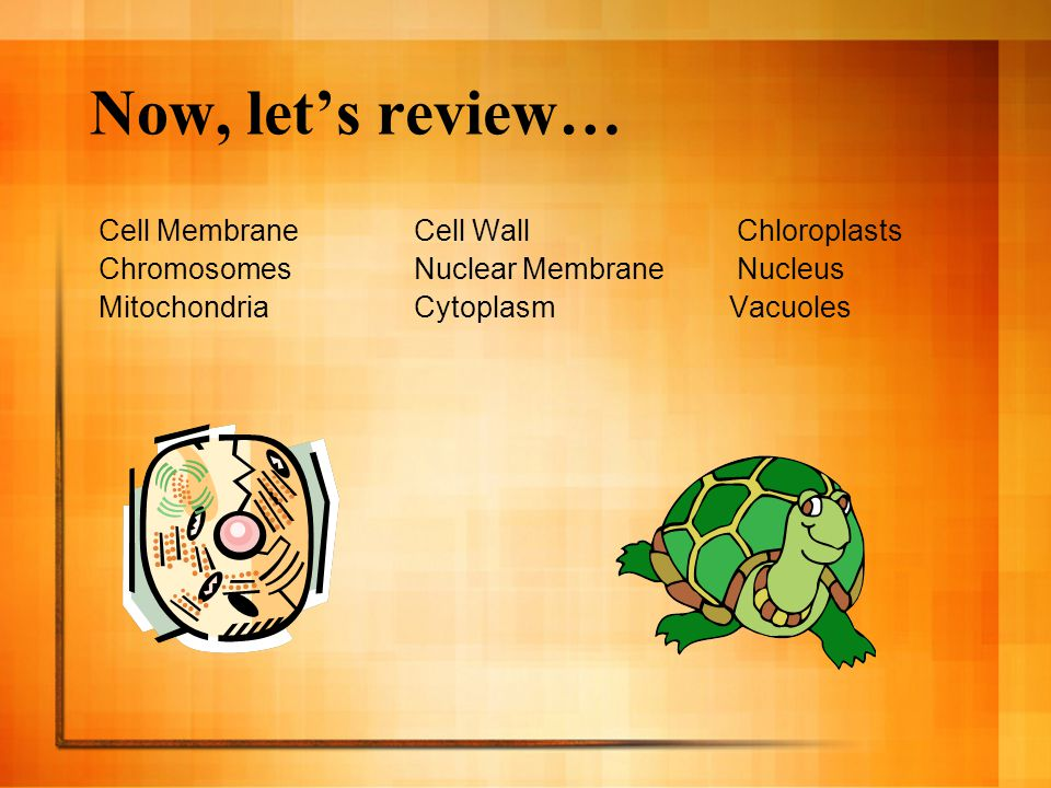 Now, let's review… Cell Membrane Cell Wall Chloroplasts
