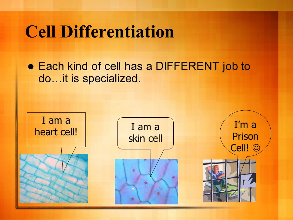 Cell Differentiation Each kind of cell has a DIFFERENT job to do…it is specialized. I'm a Prison Cell! 