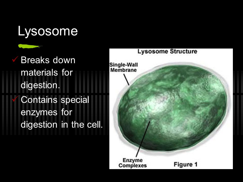 Lysosome Breaks down materials for digestion.