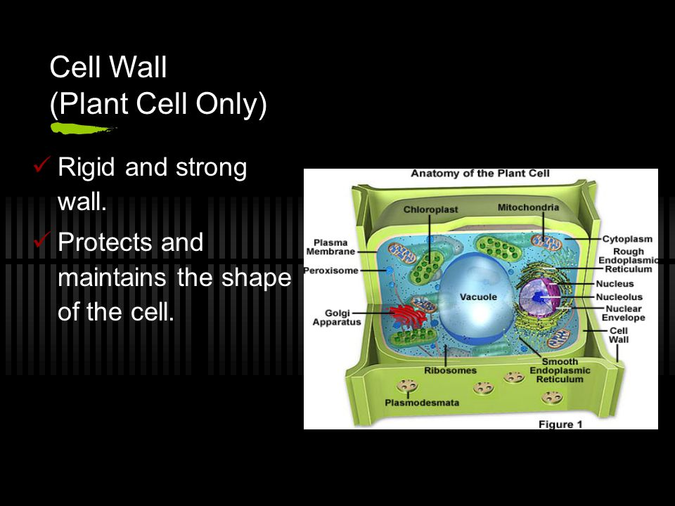 Cell Wall (Plant Cell Only)