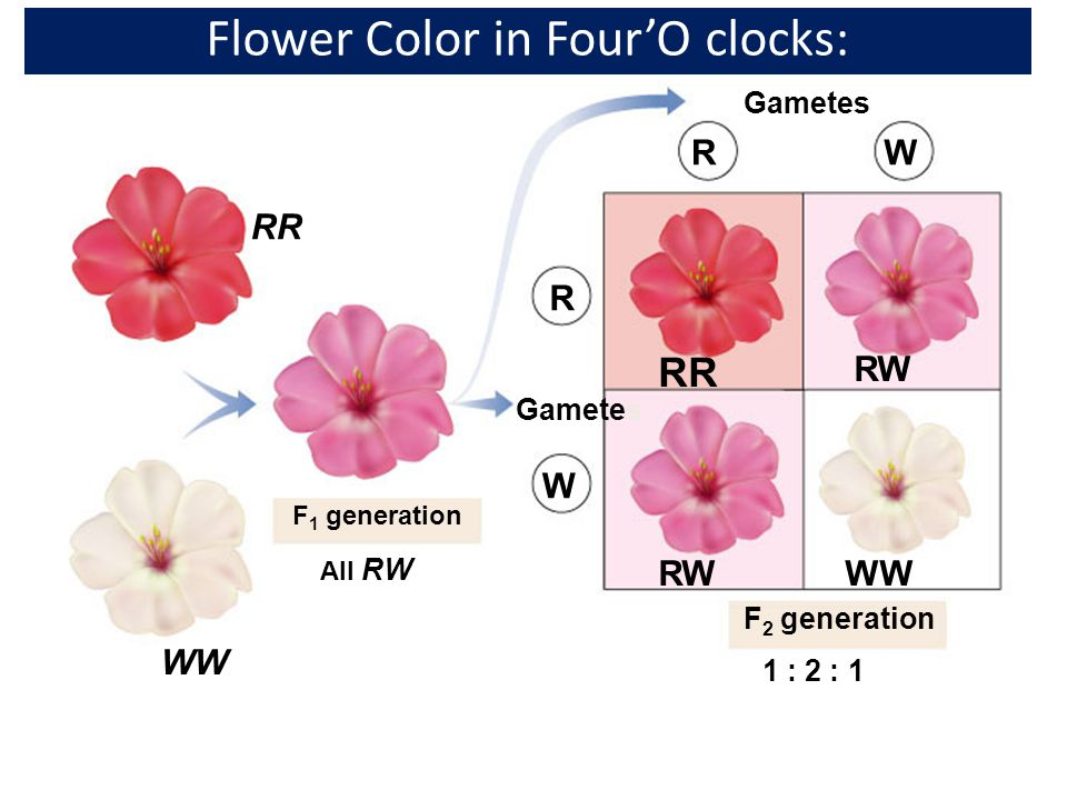 Flower Color in Four'O clocks: