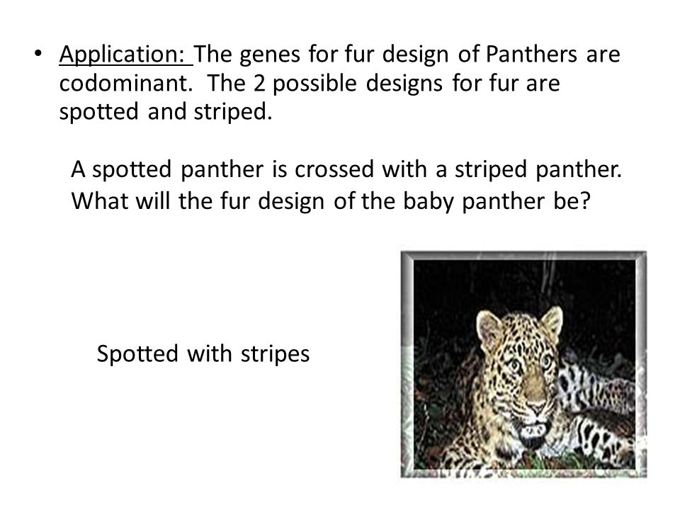 Application: The genes for fur design of Panthers are codominant