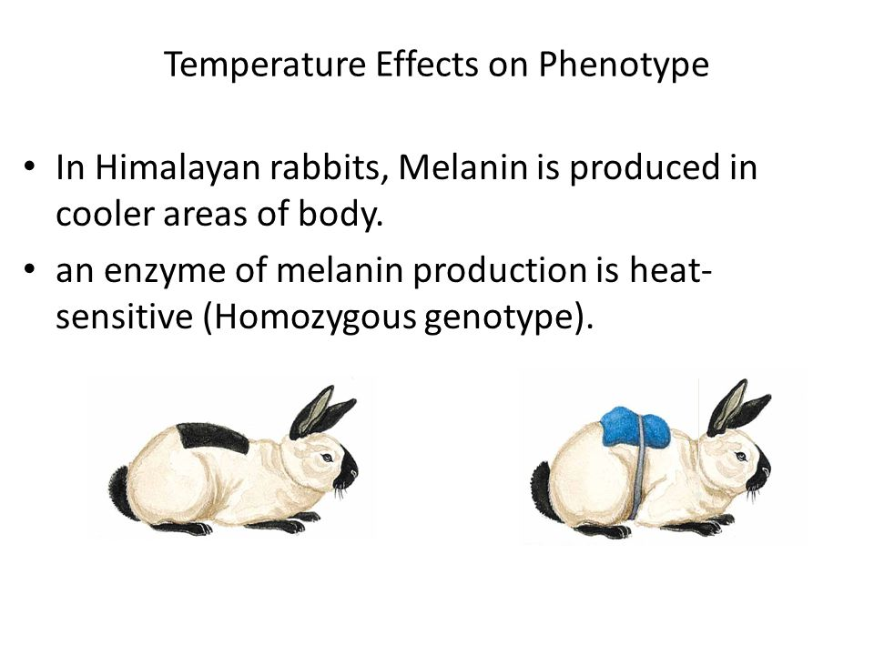 Temperature Effects on Phenotype