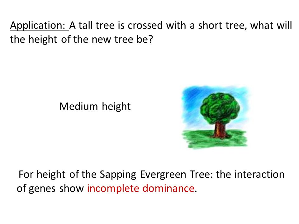 Application: A tall tree is crossed with a short tree, what will