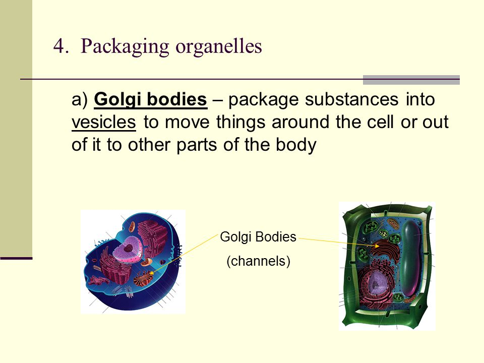 4. Packaging organelles a) Golgi bodies – package substances into vesicles to move things around the cell or out of it to other parts of the body.