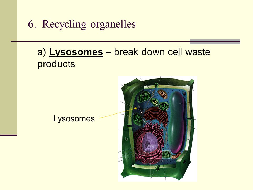 6. Recycling organelles a) Lysosomes – break down cell waste products