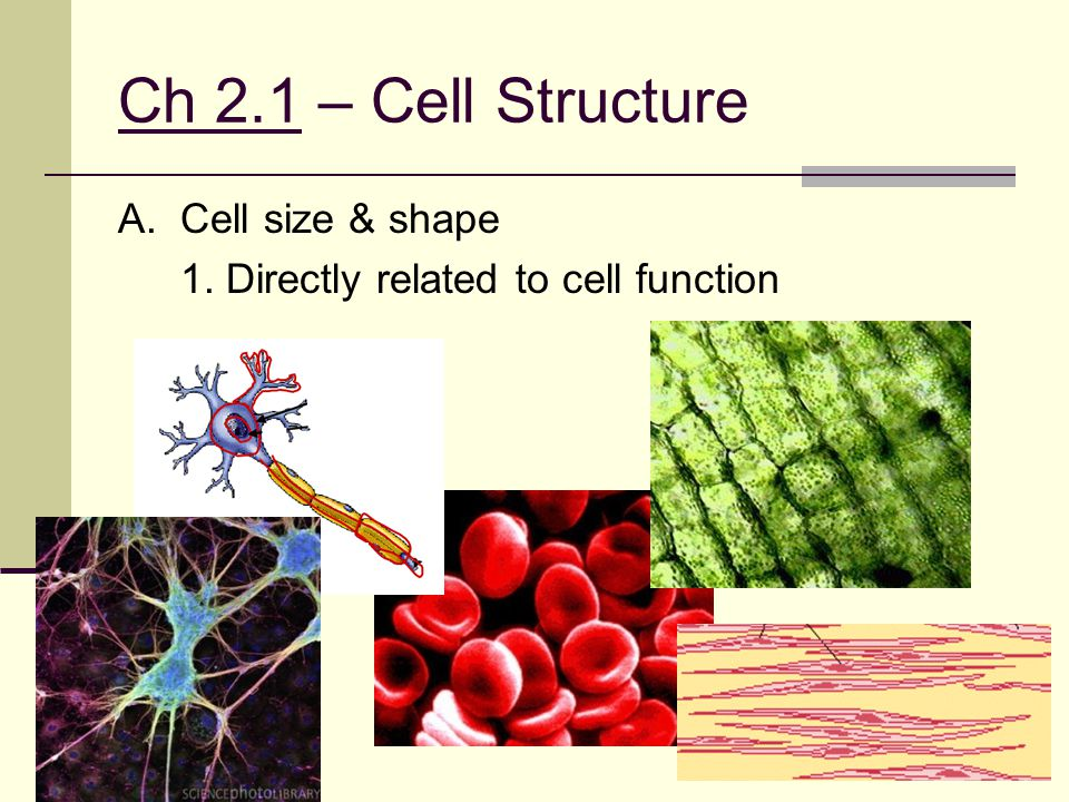 Ch 2.1 – Cell Structure A. Cell size & shape