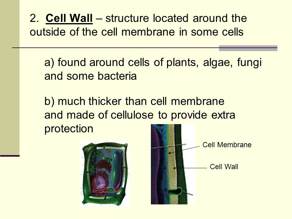 2. Cell Wall – structure located around the